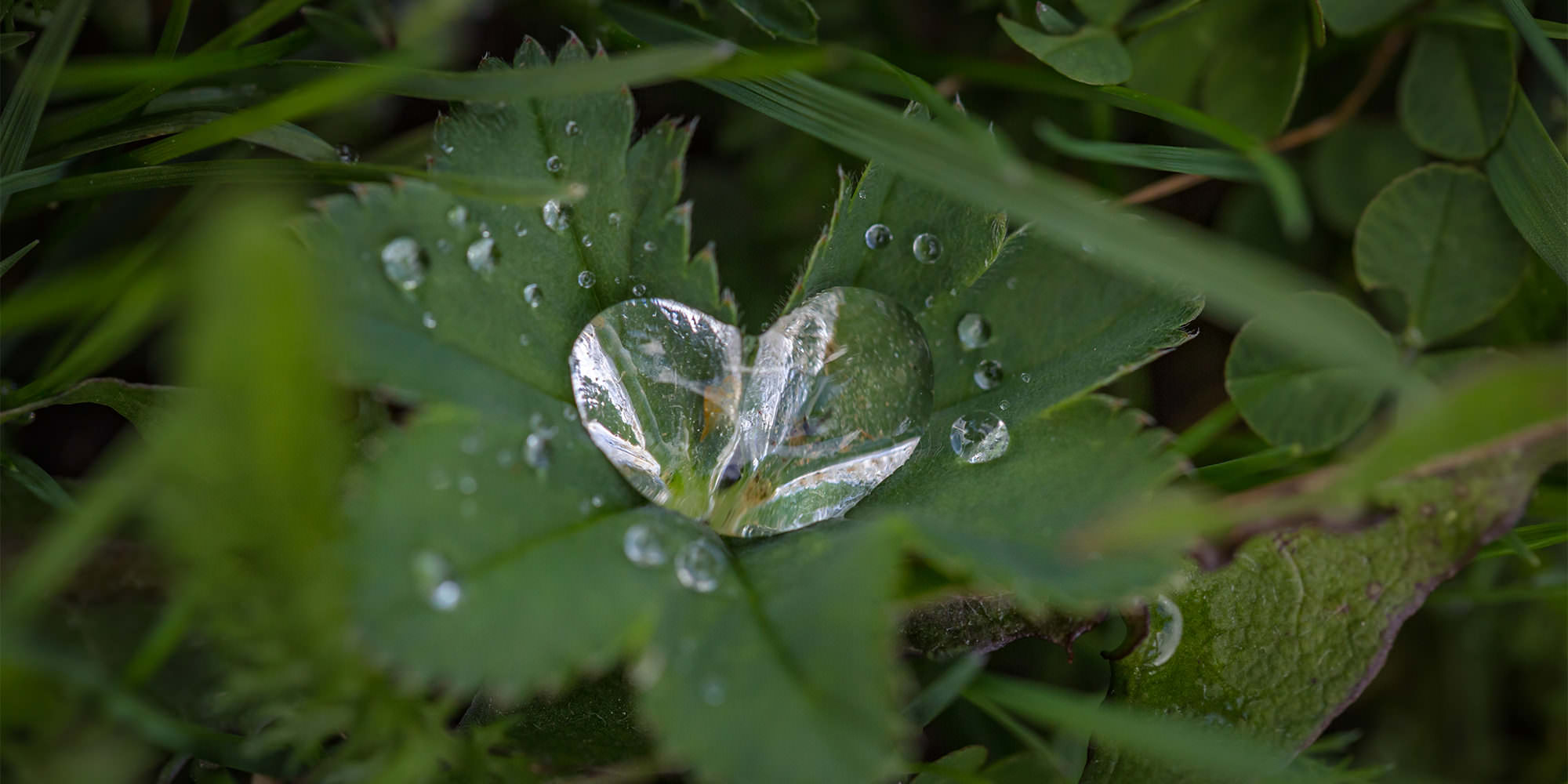 A tiny green leaf in the grass, with a small droplet of water on it. The droplet of water happens to be shaped like a heart.